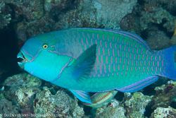 BD-131207-Marsa-Alam-0841-Chlorurus-gibbus-(Rüppell.-1829)-[Heavybeak-parrotfish].jpg